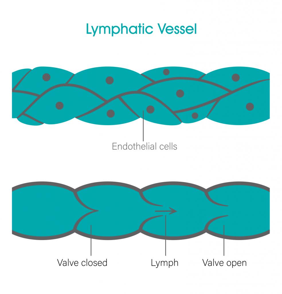 Lymphatic Vessel bodytonic clinic SE16 London